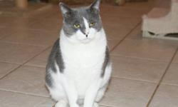 Domestic Short Hair - Gray and white - Patti Smith - Medium Sweet, petite and long legged Patti Smith is still waiting for a forever home. Patti was rescued in July 2012 from the streets after giving birth to a littler of six kittens. Soon after, she