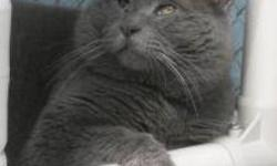 Domestic Short Hair - Grey Grey - Medium - Adult - Male - Cat CHARACTERISTICS: Breed: Domestic Short Hair Size: Medium Petfinder ID: 25183240 ADDITIONAL INFO: Pet has been spayed/neutered CONTACT: Chemung County Humane Society and SPCA | Elmira, NY |