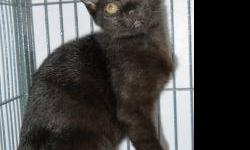 Domestic Short Hair - Julio - Medium - Baby - Male - Cat CHARACTERISTICS: Breed: Domestic Short Hair Size: Medium Petfinder ID: 24355681 ADDITIONAL INFO: Pet has been spayed/neutered CONTACT: Chemung County Humane Society and SPCA | Elmira, NY |