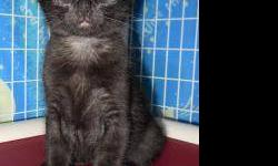 Domestic Short Hair - Midnight - Medium - Baby - Male - Cat CHARACTERISTICS: Breed: Domestic Short Hair Size: Medium Petfinder ID: 24355969 ADDITIONAL INFO: Pet has been spayed/neutered CONTACT: Chemung County Humane Society and SPCA | Elmira, NY |