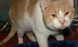 Domestic Short Hair - Orange and white - Banana - Large - Adult CHARACTERISTICS: Breed: Domestic Short Hair - orange and white Size: Large Petfinder ID: 25700999 ADDITIONAL INFO: Pet has been spayed/neutered CONTACT: Elmira Animal Shelter | Elmira, NY |