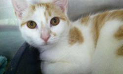 Domestic Short Hair - Orange and white - Chloe - Medium - Baby Came to the shelter very scared as a young kitten. Now Chloe has developed a fun personality and if she trusts you, loves to show her gymnastic abilities. Nothing earth shattering. Just her
