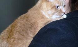 Domestic Short Hair - Orange and white - Leo - Large - Adult Hello, folks, my name is Leo and I landed here at this great SPCA when my owner moved out of our home and left me behind. Can you imagine someone NOT taking wonderful me with her? Nope, neither