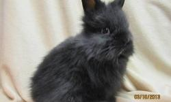Easter Bunnies for sale Lionhead Bunnies two brown one gray cute and great first pet for children, only 15.00 each call 845-750-6542.