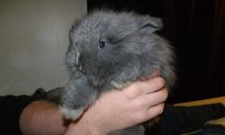 I have english angora rabbits for sale. Mom is full pedigree and babies are half. Babies are blue and both bucks. Mom is blue tort. Mom is $100 and babies are $75. Serious people only message me please. These bunnies take work and are not to be ignored in