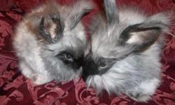 I currently have four purebred English Angora bucks for sale. They all have black fur and brown eyes. One male was born October 6th, 2014 and the other three were born December 1st, 2014. They are very gentle and used to being handled. Rabbits with a