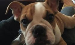 English Bulldog Puppy 6 months old with papers and shots. We purchased her from a breeder in Yonkers NY 3 months ago, in the hopes that it would be a great companion for are one year old Lab, but are Lab is having a hard time excepting her company. Shes a
