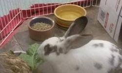 English Spot - Zoe - Medium - Young - Male - Rabbit Zoe is a stunning white bun with black/grey markings. He has gorgeous long dark ears. He was rescued from the streets of Flushing Queens, NY in Sept 2012 where he was wandering by himself. A caring