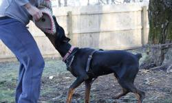 This purebreed doberman came from a high-quality bloodline in Serbia. I have her passport, and all documentation if you decide to register her. She was bred by the Dunav v. Stam Kennels in Serbia. I will provide her pedigree to serious inquiries. Shipped