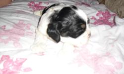 I have a female akc cocker spaniel puppy that will be ready in time for christmas,, she will come with full registration,,, 1st shots and 1st worming,,she is raised in a family situation, mom and dad are on the property, I will take deposits and or
