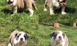 We've just got a puppy 2 days ago, but my other dog doesn't accept her at all. She is a mix of boxer with English sheepdog, brindle colour. Her mother refused feeding the pups at the age of 4 weeks, so she is currently only 6-7 weeks old. Rehoming fees