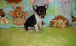 I have 2 male and 1 female toy chihuahua Puppies available..They will have 1st shots and be dewormed..Puppies are working on paper training..Both parents are here for you to meet and are very friendly however mom is leery for the first few mins but warms