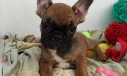 Beautiful imported FCI / AKC transferable French Bulldogs female/male puppies well-rounded well socialized already using the potty pad. Listed price is for Full AKC Registration available to breeders and show homes. Puppies will be current on vaccines