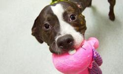 A volunteer writes: Oh, hi there! My name is Royale (like royal but even fancier!) and maybe you didn't notice because you were so blinded by my handsome face, but I have a toy in my mouth. It's a plush toy (my favorite kind) and it's shaped like an