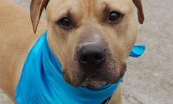 Poor Randy, surrendered because his caregivers are moving out of country & can not take Randy with tehm. Randy is a male, 4yr old brown, American Pit bull terrier. Randy was given to his owner as a gift 4 yrs ago. Social Life & Personality: Owner stated