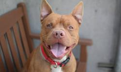 Dingledwarf is about 19 months old, and so aptly named- he looks like a cross between a puppy and a gremlin; a dashing 49 pound reddish-tan and white American staffordshire terrier mix who came to the shelter as a stray. Be sure to read Dingledwarf's full