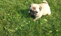 Friendly Pug puppies for sale. We have males and females available. They are 11 weeks old, vet checked and KC registered. puppies are well socialized with kids and other pets. For more info and pics text us at 720 x 551 x 6085