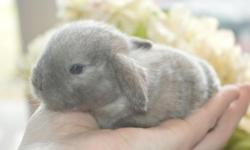 We have more purebred Frosted Sable Point Holland Lop Babies born! When grown, they will be just 2-4lbs. perfect for indoor pets. Litter trainable. Show quality. Very sweet bunnies, visit www.cloverleafcornersrabbitry.com for more info. Thanks, Kelly