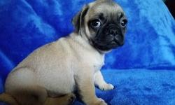 Gal-gallant Akc Reg Pug Pups Avail Here.Fawns and Black..M/F...We have been blessed with a litter of 5 Pug puppies from our female pup and now its just left 4 of them available , 2 boys and 2 girls , they have have been Vaccinated,Vet Checked,De-wormed