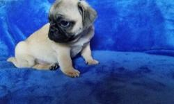 Gene-generous Akc Reg Pug Pups Avail Here.Fawns and Black..M/F...We have been blessed with a litter of 5 Pug puppies from our female pup and now its just left 4 of them available , 2 boys and 2 girls , they have have been Vaccinated,Vet Checked,De-wormed