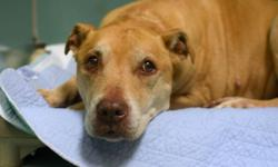 Meet Kimi. This 10 yr old staffordshire terrier was found stray. Unfortunately there is not a lot of information about her, but she appears friendly and gentle. Help her find a nice soft place to spend her golden years Kimi is located at the Brooklyn