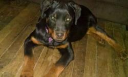 Hello Fellow Rottweiler Lovers; I currently have 1 Female puppy left from a litter of 9, she was born on October 7,2013 . I have both parents on site , all AKC paperwork and pedigrees are in order, also I have a wellness certificate from the vet and all