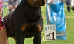 We have some of the best puppies you will find the first litter in america IFR VICE JUNIOR WORLD WINNER TK'S New Yorker X mamba vom animo kids in this pedigree 10 best champions dogs Dzomba von Haus Drazic ,Rik Darel,Hero von der Tonberger Höhe