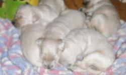 WE HAVE A BEAUTIFUL LITTER OF TEN GOLDEN DOODLE BABIES THE DAM IS AN ENGLISH IMPORT GOLDEN RETRIEVER THE SIRE A STANDARD AKC POODLE.. WE HAVE BOTH MALES AND FEMALES.. SIZE WILL BE MEDIUM TO LARGE.. BORN ON MARCH 10 2015 READY AT MAY 10 2015,, THESE BABIES