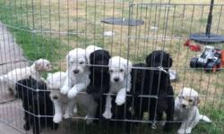 F1 doodles male and females ready mid July , goldens, creams and blacks family raised with children and other pets. Will be vet checked have shots and wormed. Great parents will be good pets. Thank you This ad was posted with the eBay Classifieds mobile