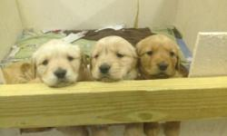 We have six beautiful pure breed golden retriever's for sale (four male and two female) raised by a loving family. The puppies were born on December 8 and should be ready to go by February 2. Golden retrievers are great family dogs and are great with