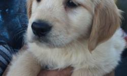 Akc golden retriever puppy. 8 weeks old today. Vet checked. First shots ready for. There new home. We have 2 beautiful females left 900 This ad was posted with the eBay Classifieds mobile app.