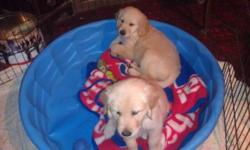 Beautiful boys. AKC registered. Father is a half English golden. Puppies are big block heads. Family raised. Vet certified healthy. Call 585-356-4717