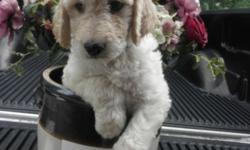 We now have a litter of Goldendoodle f1b puppies, born Memorial day(May 26th) Mother is a Goldendoodle, she lives on the premises, the father, a white Standard poodle registered CKC. F1b puppies, being 3/4 Poodle and 1/4 Retriever, will not shed, but they