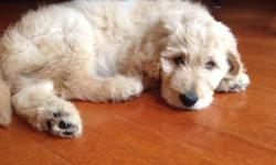 Our Goldendoodle puppies are Due October 1-3, in Geneseo, NY. We only have one litter a year, and this is Annie?s second litter. Mom is AKC golden retriever, 4 years old, and a petite 50lbs (when not expecting puppies). Dad is a white AKC standard poodle,