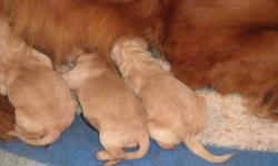 We have two litters of Goldendoodles, one of f1; the mother of this litter is a red Golden Retriever, the father is a white Standard Poodle, both AKC registered and live on the premises as our pets. The puppies were born May 9th and are all apricot. The