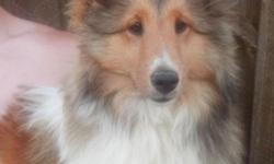 We have one very gorgeous 6 month old AKC Shetland Sheepdog young male available. He is a very out going happy guy. He has been vet checked, dewormed and has his puppy shots to date including Rabies. Health guaranteed. He is being offered as a pet on a