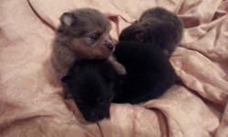 AKC registered Pomeranian puppies. Born Feb. 22nd, 2015 and will be ready at 8 weeks April 19th, 2015. Will be in the 5-7lb range grown. Dam is Blue Merle n Tan and Sire is Black n Tan and DNA'd with AKC. Prices range from 800.00 -1200.00. Puppies come