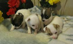 Hello Everyone, My Aunt has some beautiful Chihuahua babies that she is offering for sale. The puppies are located in Bridgeport Connecticut so please be aware. Both the parents of these amazing babies are on site and are cherished family pets. Babies are
