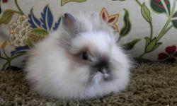 I have a small, beautiful lionhead bunny that needs a new home. She was purchased from a reputable breeder last year & comes from a line of pure bred award/show winning lionheads. Her name is Mocha from her beautiful mocha brown fur coat. $50 & we would