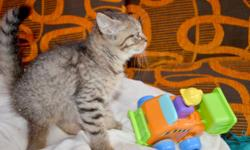 Ref: Albert05122016 Gorgeous Scottish Straight kitten for sale. Kitten have already been taught to use the toilet. The fur is brown-tabby color and is short, dense, and, very soft. Kitten dewormed and vaccinated up to date, checked by Vet Doctor, health