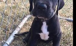 One beautiful great dane puppies left, born June 16th. These will be big beautiful Danes. Our last boy is weighing at 16lbs all ready at 6 weeks old. Mom is 25% European ckc registered Willow Ann, and she weighs in at 140lbs and stands 34'' at the