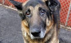 Russell is a handsome German Shepherd who was found wandering stray. He is thought to be about 8 yrs old. He may need to have his left ear checked by a vet, as it may have a hematoma (not too serious) but he otherwise seems to be healthy. Russell is