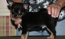 Tuffy is a handsome little guy with a big attitude,he is up to date on shots and has been wormed. Tuffy was born Aug.2,2014 and will be around 4 lbs He is being offered as a pet for $400 PH (585) 637-8357 website: www.bjschihuahuas.com