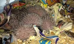I have 7 available hedgehogs, I'm taking deposits now so as soon as they are 6 weeks they can go to avoid them breeding with each other, they will be ready around June 15th give or take a few days it really depends on how well they are eating, mom and dad