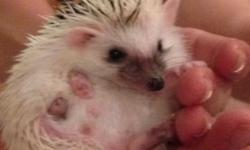 Baby hedgehogs for sale. I have 1 male and 2 females left. They've been handled daily from a young age. Very sweet and oh so cute. High white/pinto. Both parents on premises. Born 4/1/14 April Fools Day!!Ready to go! Located in the Hudson Valley NY.