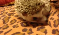 yes hi i have 2 hedgehogs for sale a male and a female both are young babys there heathly and friendly looking for good homes for them i also sell cages and food for 50 dollars if you would like to know enything els you can call or text me anytime on