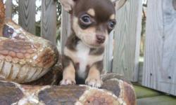 Beautiful, Tiny, chocolate girl Chihuahua. Born September 8th and as sweet as can be! She comes from champion lines, has a perfect apple head. She will go to her new home with her first set of shots done by a Vet and well have been wormed. She also comes
