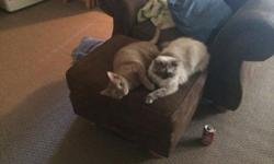 One year old female Himalayan tortie point. Great with kids and other cats she hides from any dogs. I am moving and unable to keep her. She is not spayed. She is liter box trained and completely indoor cat. She has been in heat a few times this spring.