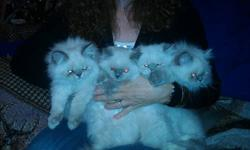 purebred himalayan kittens,sweet dispositions.male flamepoint female tortie point.ready to go july 29th.deposit will hold.will be vaccinated,wormed and come with kitten care kit.pictures and references upon request.good homes only