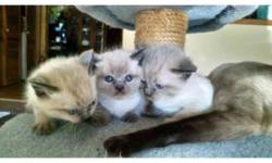 I have three male kittens for sale. They will not be sold until a full eight weeks. They were born on Feb 25 2015 so they are six weeks now. Mom is purebred Siamese and dad is purebred Himalayan. I will send pictures upon request.
